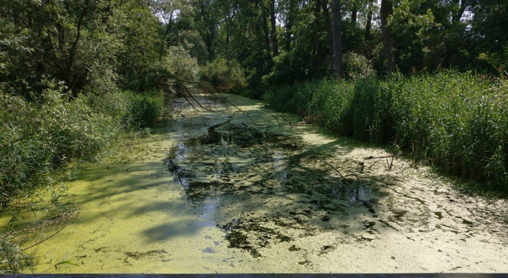 Die Wasseroberfläche ist einheitlich mit Wasserlinsen in einem sehr hellen Grünton bedeckt. Die Wasserlinsen haben unterschiedliche Größe und bedecken die Oberfläche des Sumpfgewässers fast vollständig.