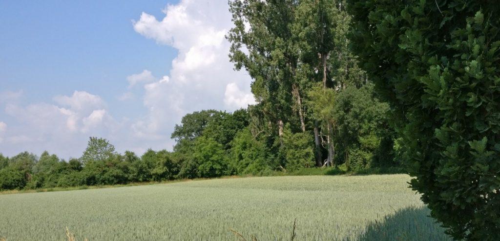 Freiflächen, die von dichten Bäumen umstanden sind. Der Boden stets dicht bewachsen  - nicht gerade mit Getreide wie hier, schließlich war die Gegend der Polesischen Sümpfe (ob der in sumpfigen Tälern langsam dahinfließenden Zuflüsse) mehr der Holzwirtschaft zugetan, denn der Landwirtschaft.